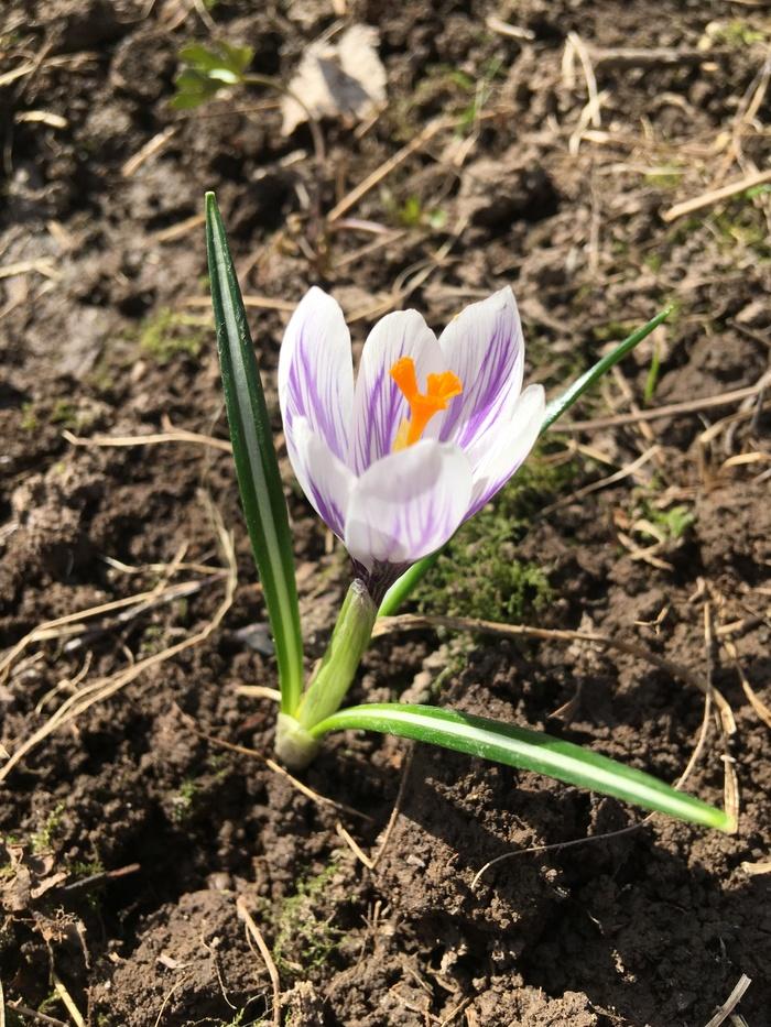 Цветочек Цветок, Крокус, Весна, Фотография