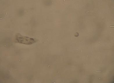 Микрофотки Микроскоп, Фотография, Биология, Пятничный тег моё, Гифка, Длиннопост