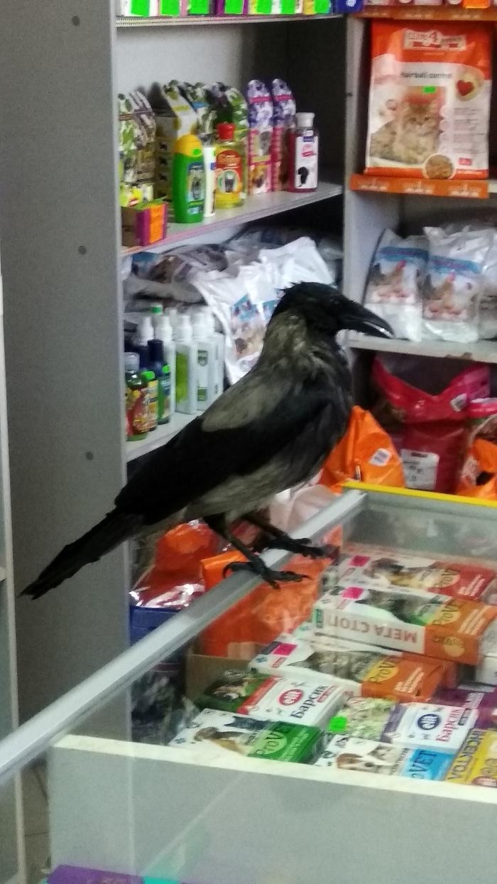 Ворона, которая живёт в магазине Ворона, Ищу дом, Длиннопост, Черкассы, Помощь