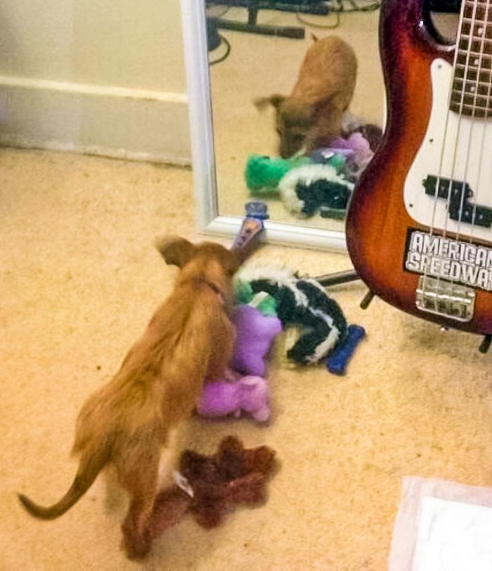 Она принесла все свои игрушки к зеркалу, чтобы вторая «собачка» тоже могла поиграть