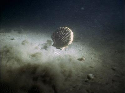 Гребешок следит за тобой глаза, анатомия, морские обитатели, Природа, гифка, длиннопост, морской гребешок