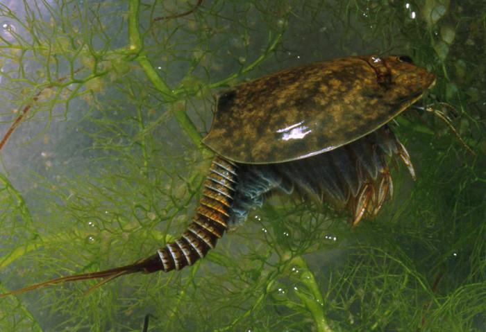 ЩИТНИ ИЛИ ТРИОПСЫ(TRIOPS) Аквариумистика, Морские обитатели, Динозавры тогда еще не вымерли, Щитень, Длиннопост