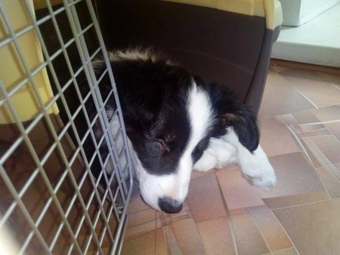 Бордер-корги, пришествие новой собаки