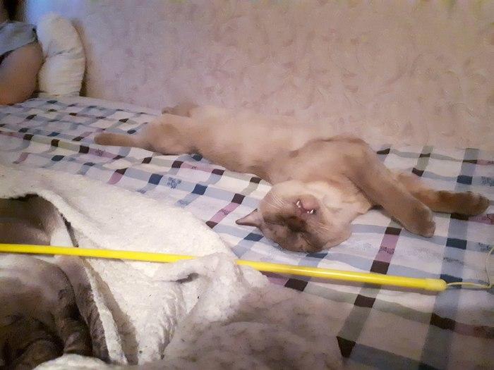 Котик сдохъ(для особо подозрительных, кот просто спит) Кот, Животные, Бурма, Кот Шнур, Длиннопост