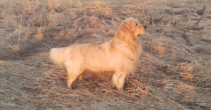 Мой собакен Собака, Золотистый ретривер, Длиннопост
