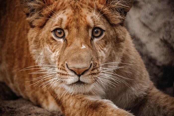 Питомцы Новосибирского зоопарка: лигры Лигр, Лигрёнок, Зоопарк, Новосибирский зоопарк, Гибрид, Редкие животные, Селекция, Хищник, Длиннопост