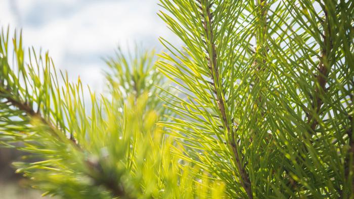 Весенне-лесная подборка, сиквел Фотография, Макро, Лес, Пень, Грибы, Сосна, Nikon d5200, 18-55 kit, Длиннопост