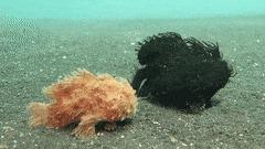 Волосатые рыбы-лягушки и не-скажу-кто странные рыбы, морские обитатели, Животные, гифка