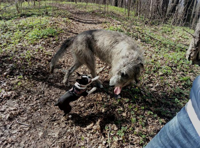 И кто тут борзой? Ирландский волкодав, Собака, Щенки, Погоня, Борзая, Видео, Бостон-Терьер