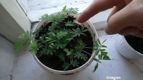 Самое необычное растение, которое я видел Мимоза, Растения, Биология, Флора, Гифка