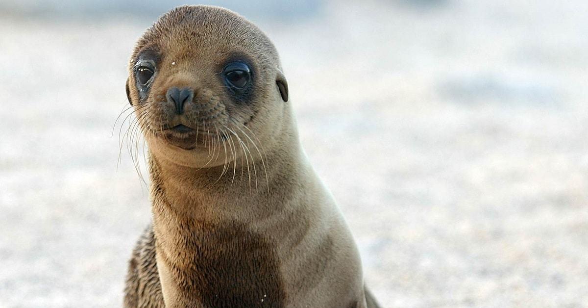 бедре ушастые тюлени фото тоже