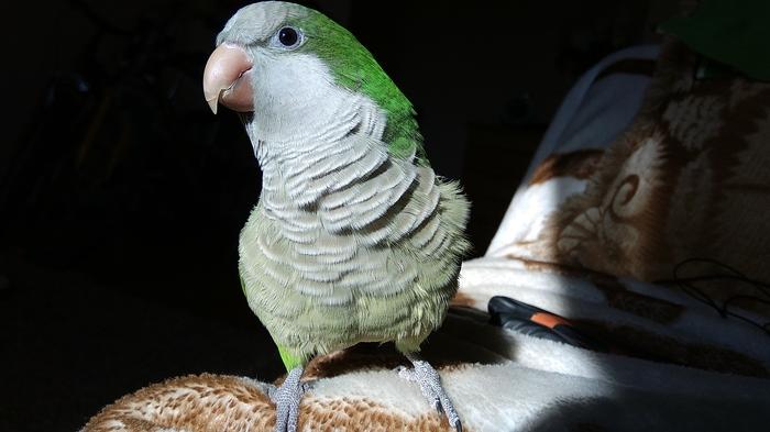 Улетел попугай Помощь, Попугай, Без рейтинга, Потеряшка, Помощь животным, Киев, Поиск животных