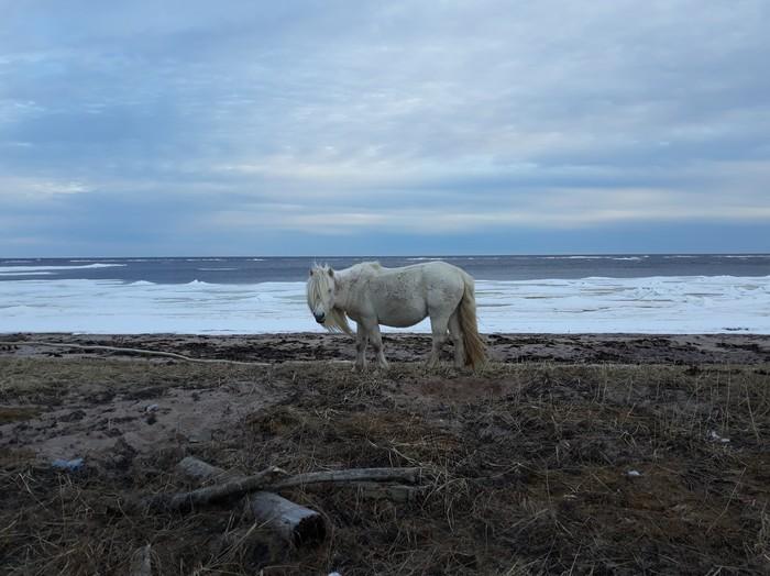 Одичавшая лошадь на берегу Белого моря
