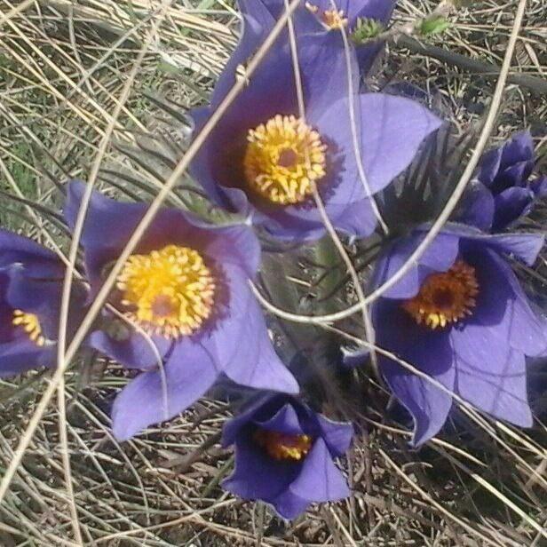 Степь цветет Первоцветы, Степь, Сон-Трава, Адонис, Весна, Оренбургская область, Шмель, Длиннопост