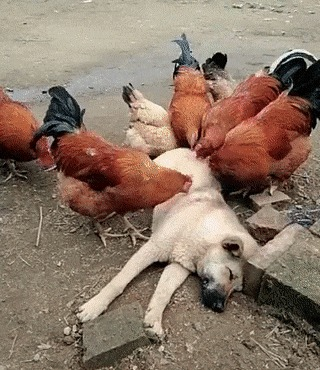 Просто куры едят собаку