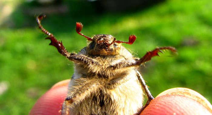 Спасём перевернувшихся майских жуков! Майский жук, Зеленые, Спасем, Длиннопост