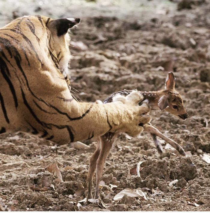 Размер лапы тигра, по сравнению с оленёнком