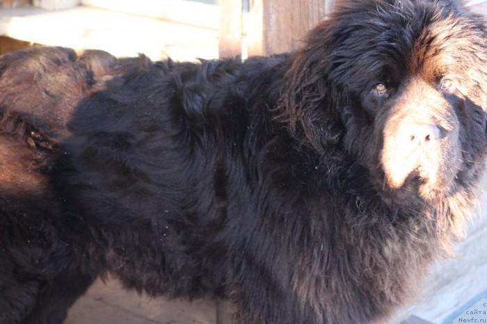 От 2 месяцев до 2 лет Ньюфаундленд, Собака, Друг, Длиннопост