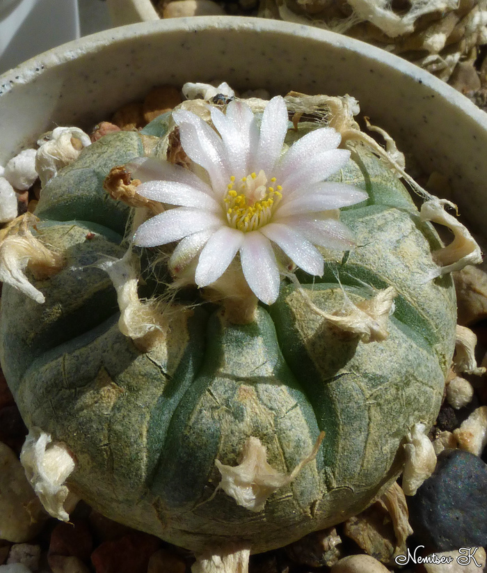 Кактусы расцвели Кактус, Цветы, Растения, Турбиникарпус, Выращивание дома, Природа, Фотография, Длиннопост