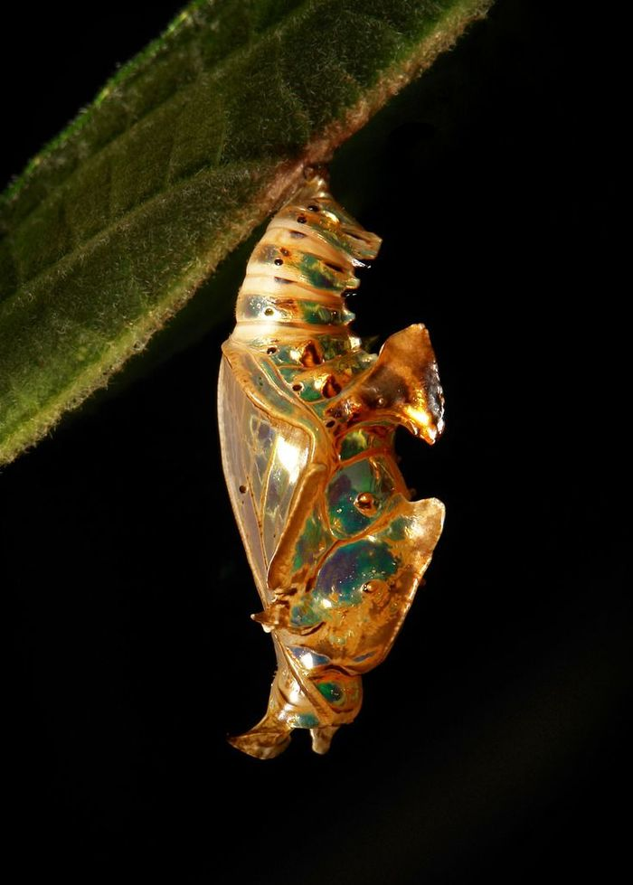 Чудо природного дизайна Насекомые, Бабочка, Куколка, Красота, Животные, Природа, Интересное, Длиннопост