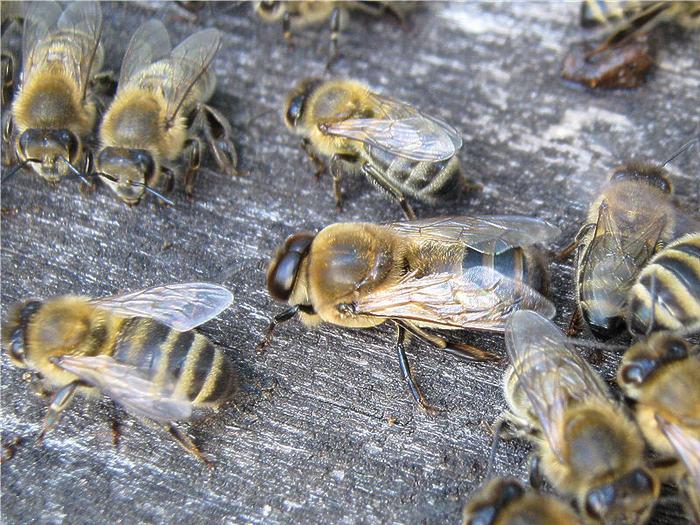 Жизнь трутня в пчелиной семье Мёд, пчеловодство, трутни, пчелиная семья, длиннопост