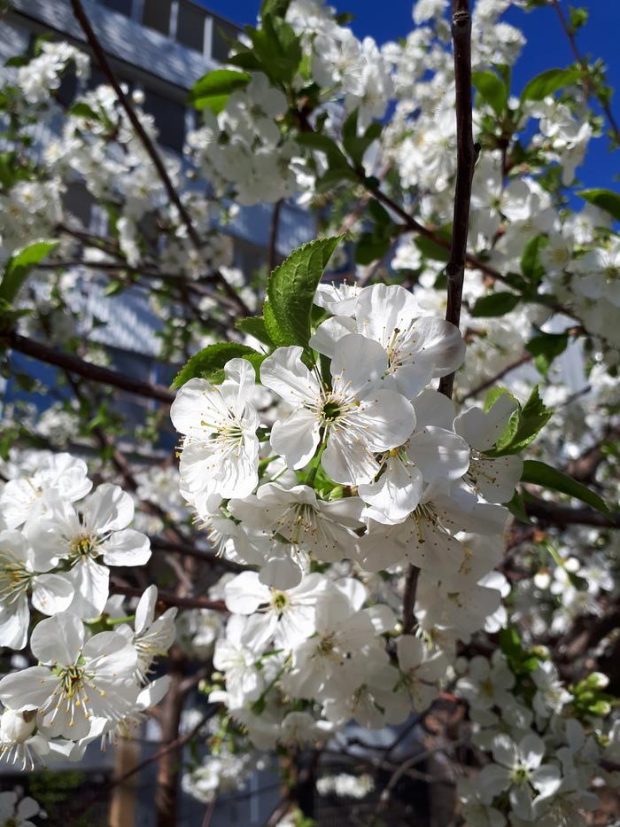 Весеннего цветения пост. Баянометр врет, Весна, Цветение, Начинающий фотограф, Длиннопост