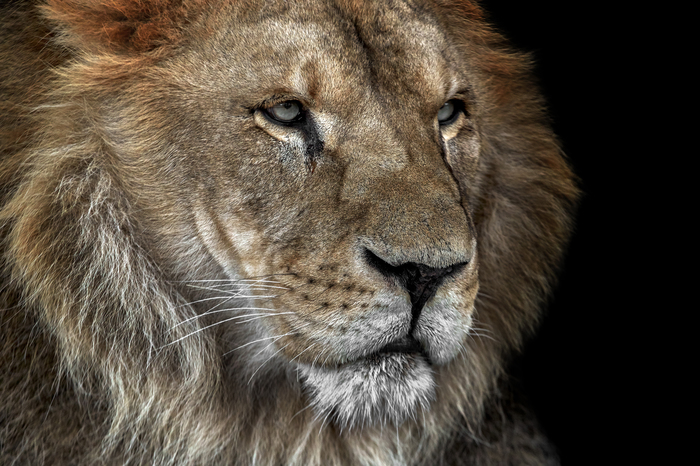 У chelzoo пригорело. Челябинский зоопарк, Лев, Животные, Природа, Длиннопост