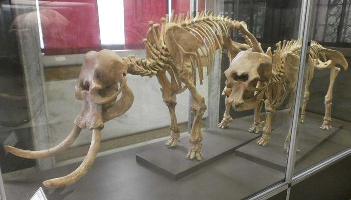 Карликовый слон (Palaeloxodon falconeri) Интересное, Познавательно, Длиннопост, Доисторические животные, Слоны, Мифология, Циклоп