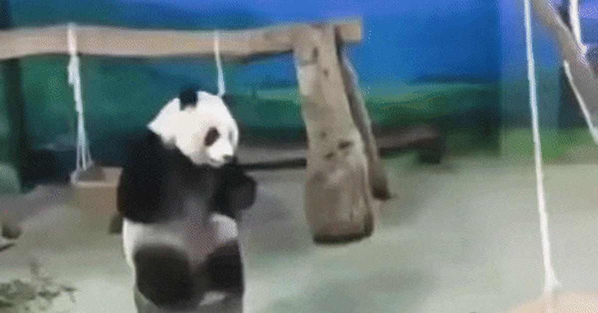 Открыток, гифка панда пьяная