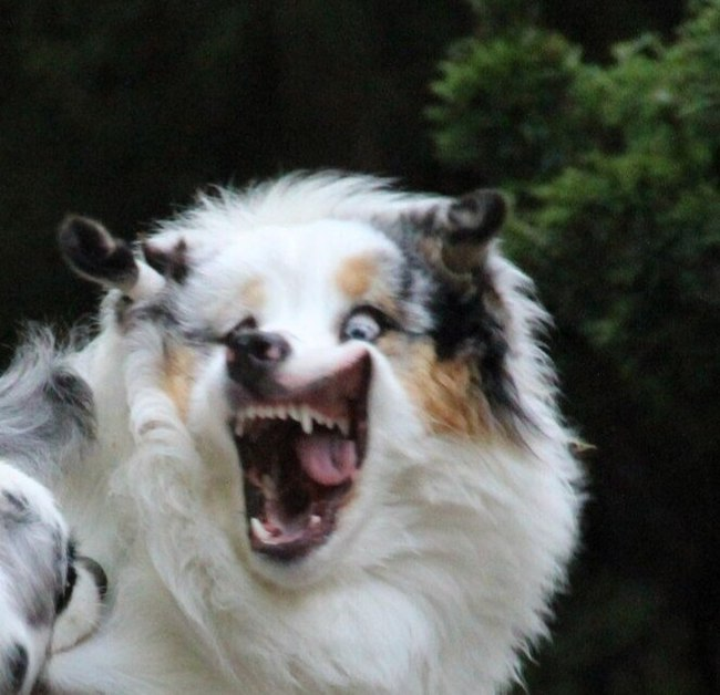 Когда рассказали смешную шутку Собака, Фотография, Австралийская овчарка, Аусси