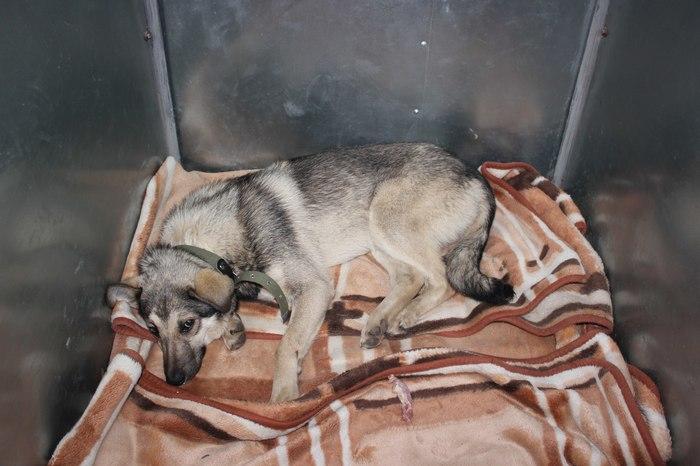 Мальта, Миша и злые клещи Собака, Bfbbim, Животные, Ветеринария, Длиннопост, Пироплазмоз