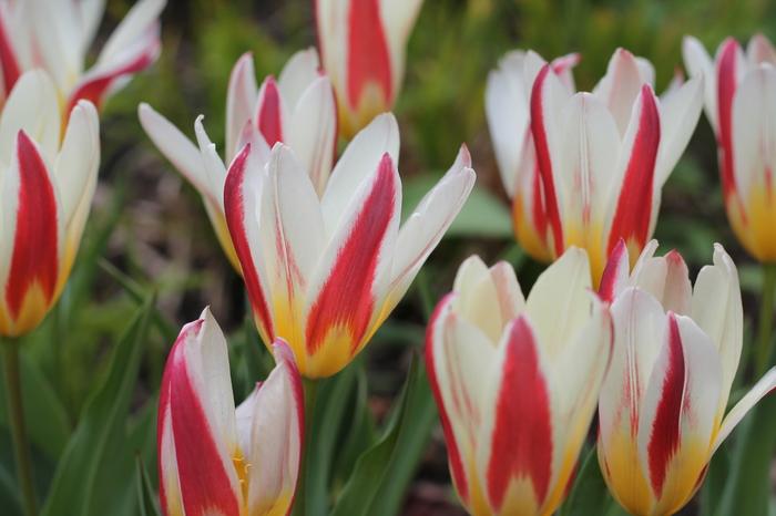 Тюльпаши Цветы, Тюльпаны, Фотография, Тверь, Длиннопост