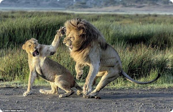 Львиная любовь Лев, Танзания, Любовь, Длиннопост, Кот
