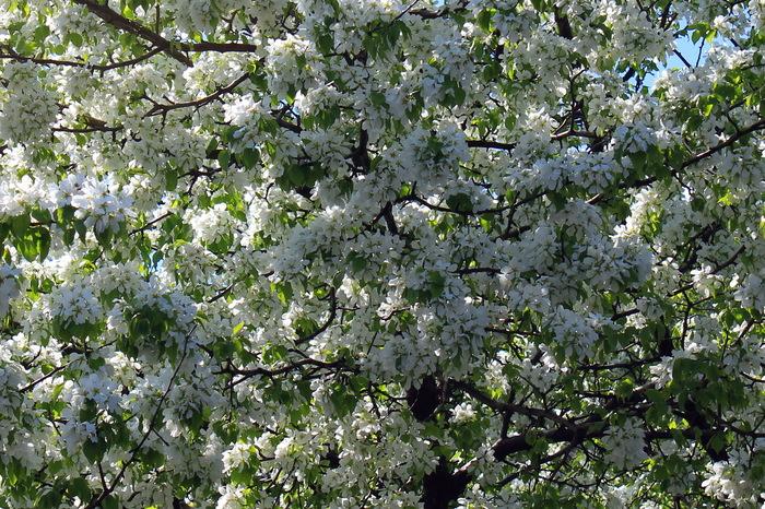 Зацвели яблони. Цветы, Яблоня, Весна, Екатеринбург, Погода, Сад, Растения