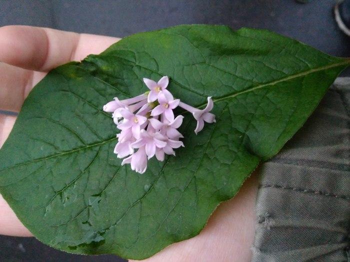 Вопрос к биологам: что это такое?) Лига биологов, Растения, Сирень венгерская, Сирень