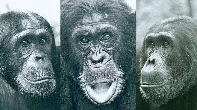 Кровавая четырехлетняя война среди шимпанзе Про обезьянок, Шимпанзе, Интересное, Длиннопост
