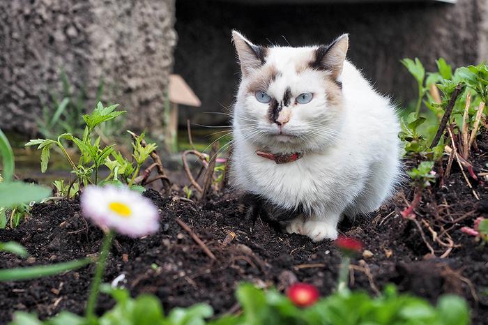 Маргаритки Кот, Весна, Клумба, Маргаритка