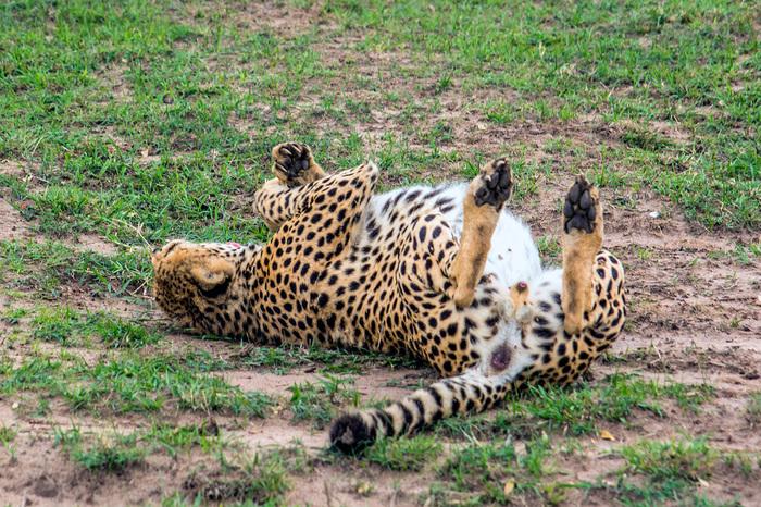 Африканское сафари. Как туда попасть и кого можно увидеть. Часть 2 Путешествия, Сафари, Фотография, Длиннопост, Африка, Кения, Туризм
