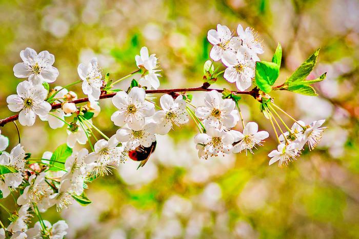 Мохнатый шмель Фотография, Шмель, Зелень, Цветы, Цветение, Canon