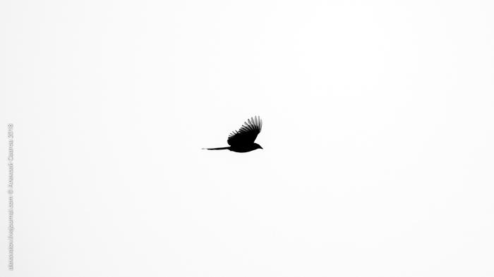 Птица приносящая счастье Птицы, Сорока, Длиннопост