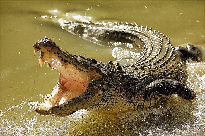 genitalii-krokodilov-foto