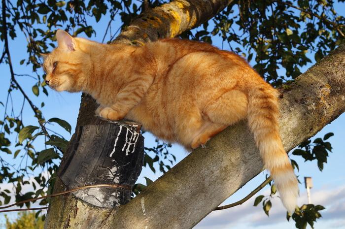 Кот дереволаз.
