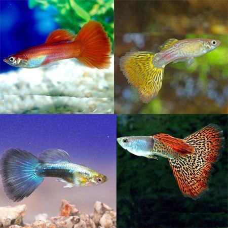 Если вам интересна селекция Рыба, Селекция, Аквариум, Гуппи, Петушки, Длиннопост
