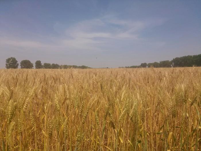 Хлебушек зреет Хлеб, Агроном, Фотография, Пшеница