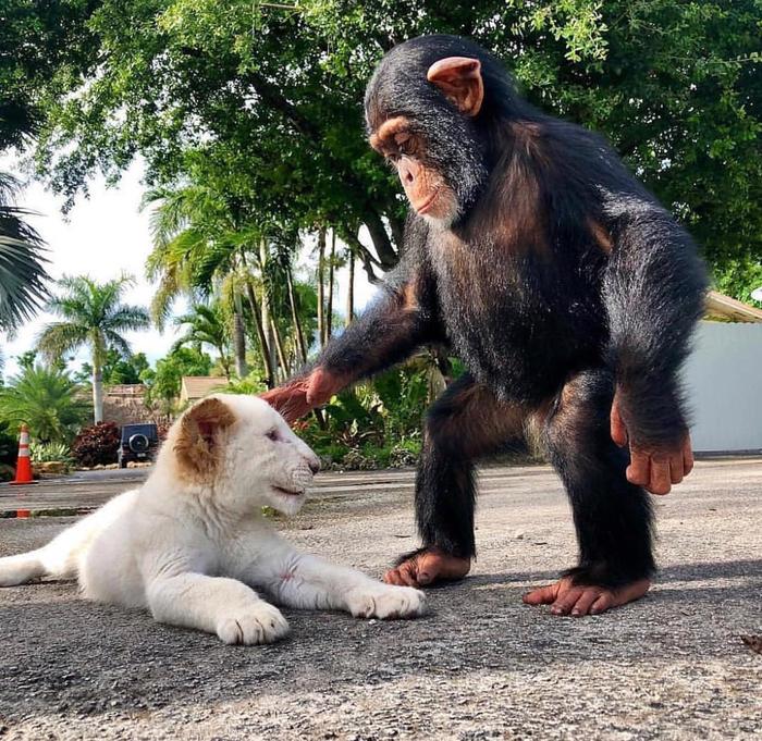 Шимпанзе и львёнок