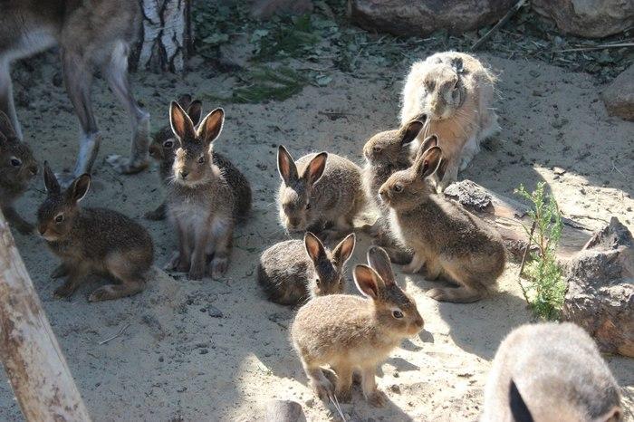 Разбиваем мифы о зайцах Заяц, Мифы, Кролик, Гифка, Длиннопост