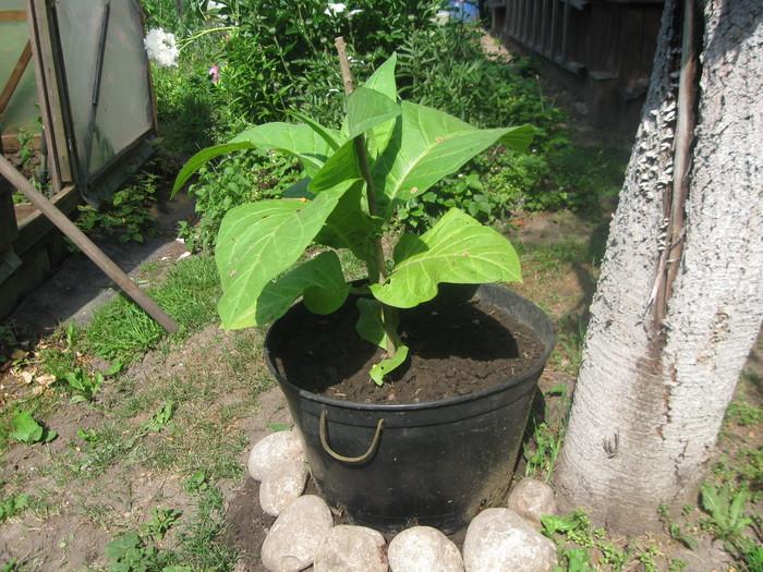 как выращивать табак в средней полосе россии