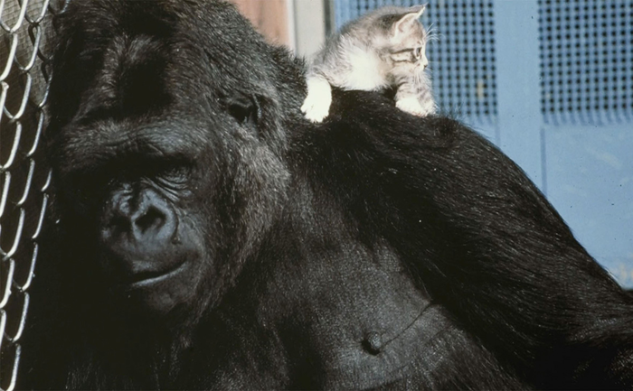 В США скончалась освоившая язык жестов горилла Коко Горилла, Горилла коко, Язык жестов, Траур, Новости, Длиннопост
