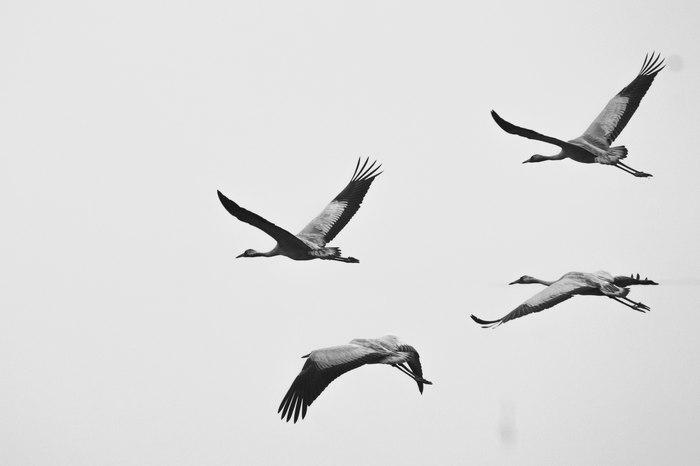 Впервые снял журавлей Моё, Фотография, Орнитология, Природа, Птицы, Журавли