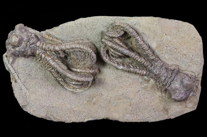 Немного качественных ископаемых. Палеонтология, Ископаемые, Доисторические животные, Окаменелости, Интересное, Познавательно, Прошлое, Длиннопост